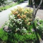 庭のレンゲツツジ