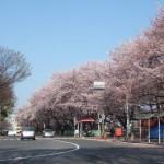 名古屋城の桜 正門前