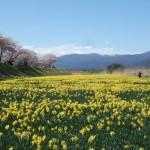 スイセンと桜(諏訪の上川河川敷)