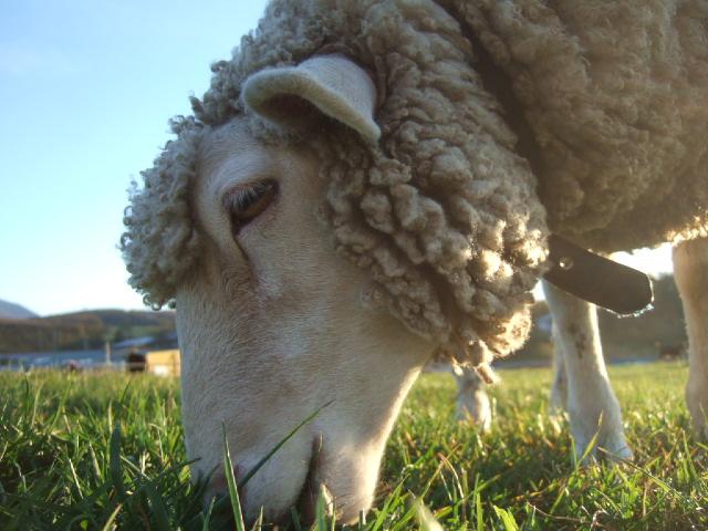 長門牧場の羊さん