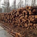 朝のランニング 伐採