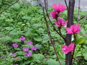 花桃 サクラソウ