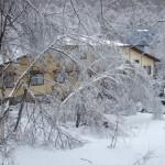 雨氷の白樺