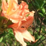 レンゲツツジ(蓮華躑躅)とハチ