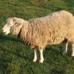 長門牧場 羊さん