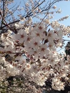 上田城 桜