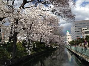 高崎城址 桜