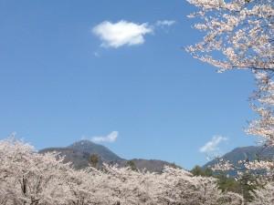 聖光寺 桜