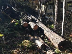 伐採した木 玉切り待ち