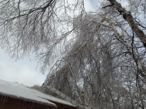 雨氷 白樺 倒木