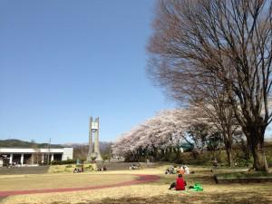 茅野市運動公園 桜