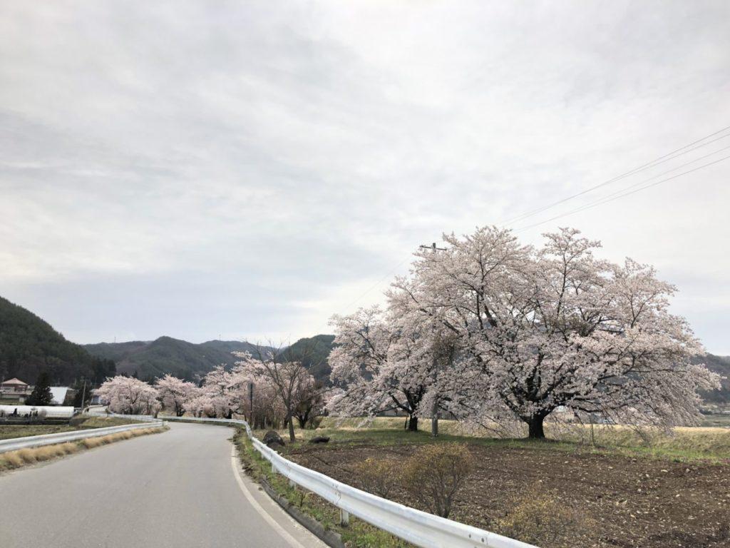 長和町 桜