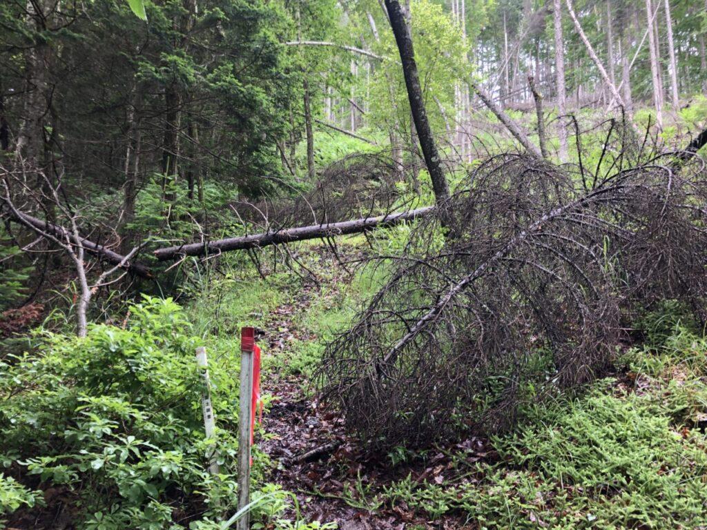 中央分水嶺トレイル 美ヶ原トレイルラン 激坂の倒木